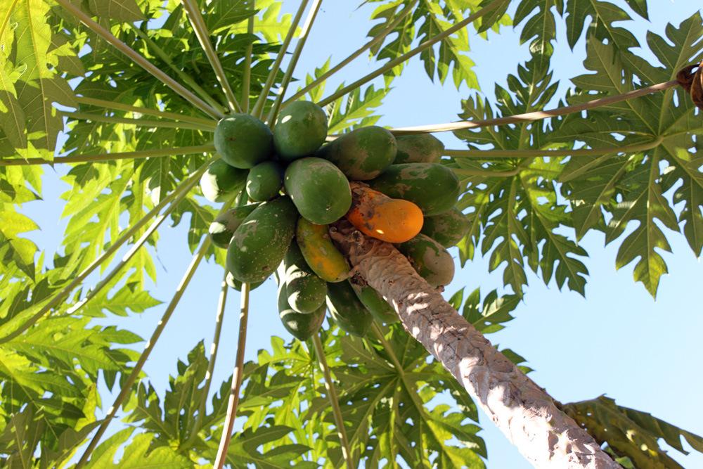 Плоды папайи можно обнаружить вдоль просёлочных дорог
